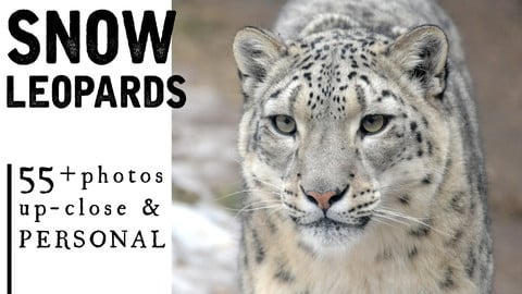 55+ Snow Leopard Photos for Artist Reference