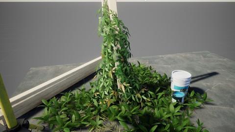 Ivy herb
