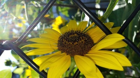 Sunflowers 001 (8pk) (two have a bumblebee)
