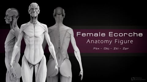 Female Ecorche - Anatomy Figure