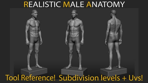 Realistic Male Anatomy