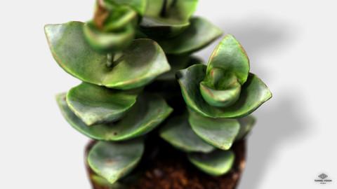 CrassulaMoonglow Cactus Plant - Photoscanned PBR