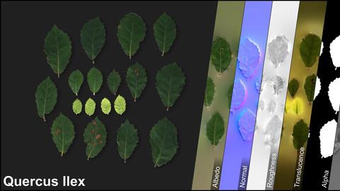 Photometric Scan Vegetation - Quercus Ilex - Leaves 1