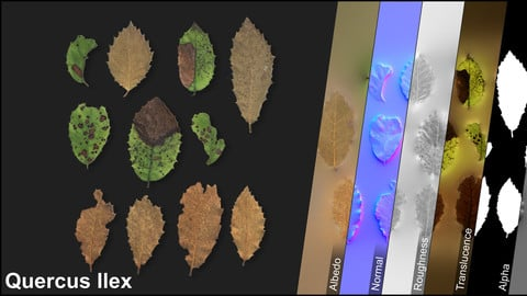 Photometric Scan Vegetation - Quercus Ilex - Leaves Dry 1