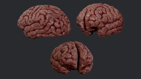 Human Brain Organ Game Ready 02