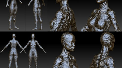 ( 3GB ) = ZBRUSH HD SCULPT = Artistic Muscle Fibers High Definition v101