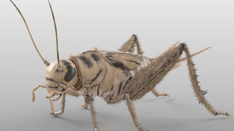 Cricket Insect Rigged PBR