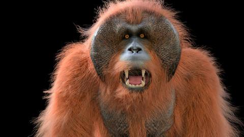 Orangutan Rigged Hair Fur Animal