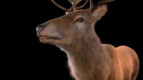Stag Deer Hair Fur Rigged Animal