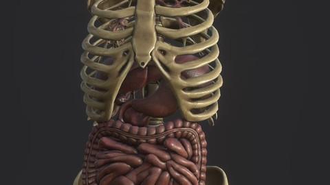 Anatomy skeleton pelvis spinal column human ribs and ORGAN PBR and print