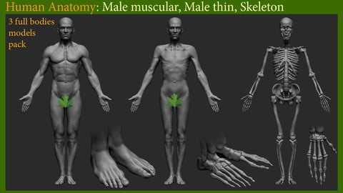 Human Anatomy: 3 full bodies models pack. Male basemesh. Skeleton model.