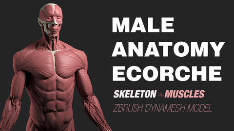 Male Anatomy Ecorche - Skeleton model - Human muscles