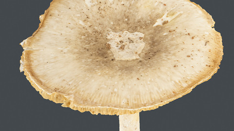 Photoscan_Mushroom_0009_only HighPoly Mesh (16K Texture)