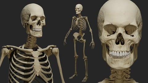 PBR Human male skeleton