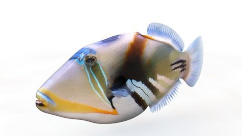 Reef Triggerfish 3D Model