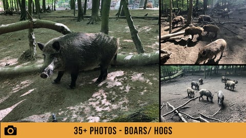 German Boar/ Hog - 75+ Photos