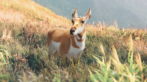 Pronghorn Female 3D model