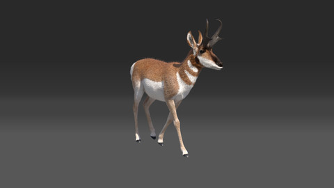 Pronghorn Male 3D model