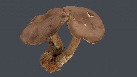 Photoscan_Mushroom_0014_only HighPoly Mesh (16K Texture)