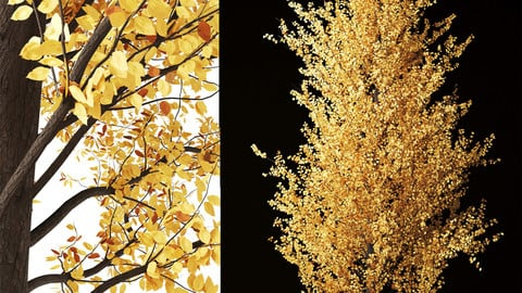 Golden-Ash-tree