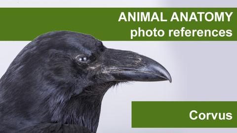 Animal anatomy photo references Corvus