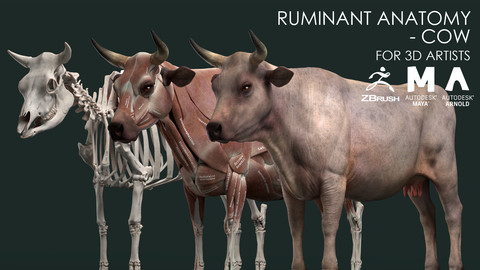 Ruminant Anatomy Model - Cow