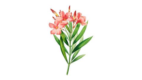 Oleander Flower Illustration PNG File