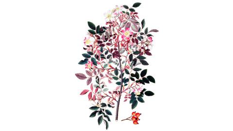 Shrub Rose Flower Illustration PNG File