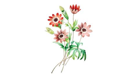 Anemone Flower Illustration PNG File