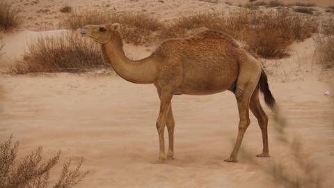 Camel 3D model_Rigging_Animated_Fur