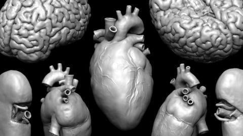 Human Organ Models