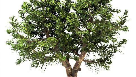 Apple Tree (Malus domestica)