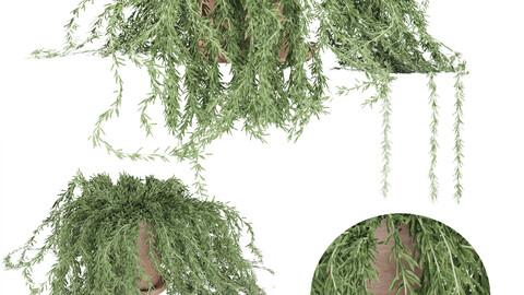 plant 005 Senecio radicans