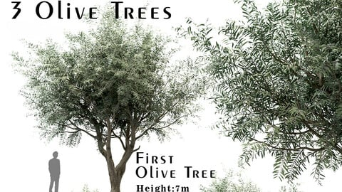 Set of Olive Trees (Olea europaea) (3 Trees)