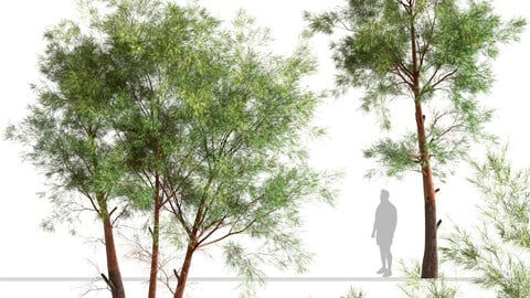 Set of Pinus Sylvestris Trees (Scots Pine)