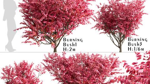 Set of Burning Bush Bushes (Euonymus Alatus)