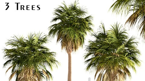 Set of Sabal Palm Trees (Cabbage Palm) (3 Trees)