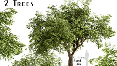 Set of Golden Rain Trees (Koelreuteria Paniculata) (2 Trees)