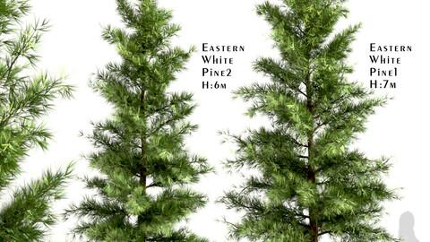 Set of Eastern White Pine Trees (Pinus Strobus) (2 Trees)