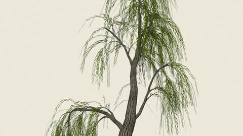 Willow Tree 06