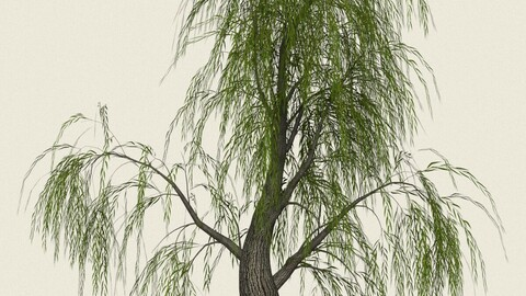 Willow Tree 07