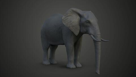 African elephant_Loxodonta_Model