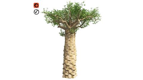 Madagascan Baobab Tree