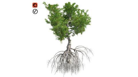 Red Mangrove Tree