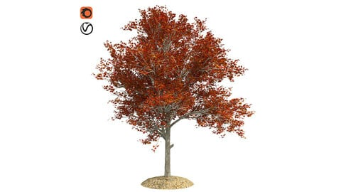 Red Maple Fall Tree