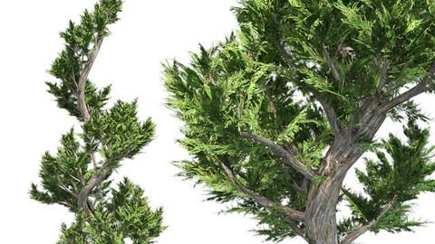 Hollywood Juniper Topiary Tree