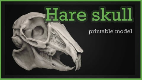 Skull of a rabbit or hare