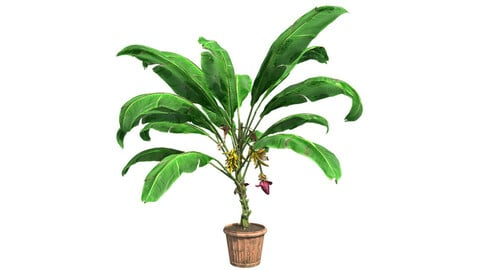 Banana Plant in Pot