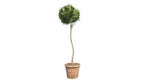 American Boxwood Topiary in Pot