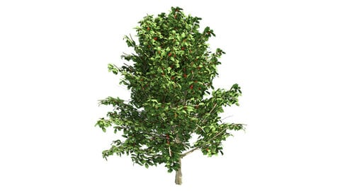 American Holly Shrub Tree